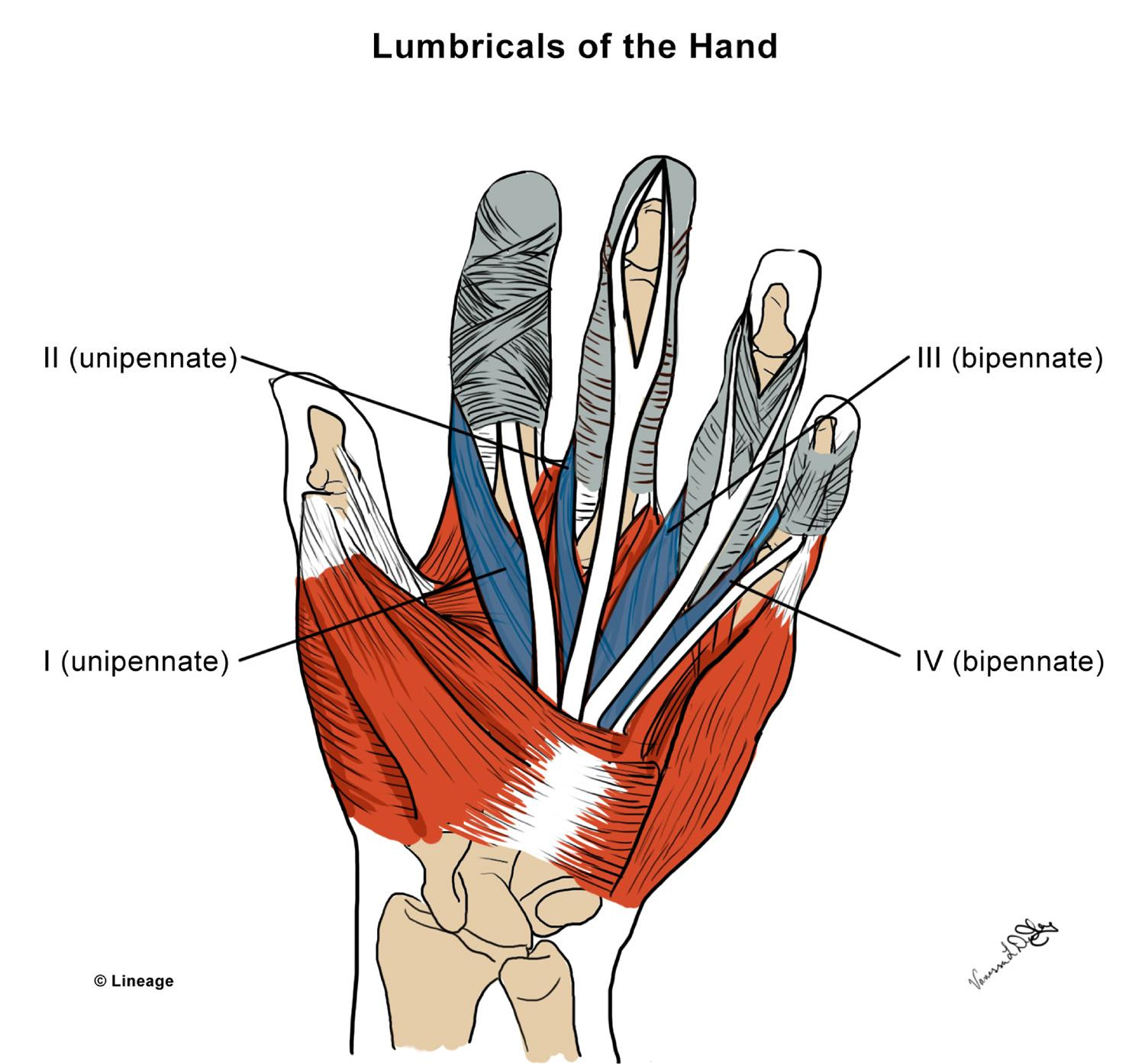 Intrinsic Hand Muscles Msk Medbullets Step 1