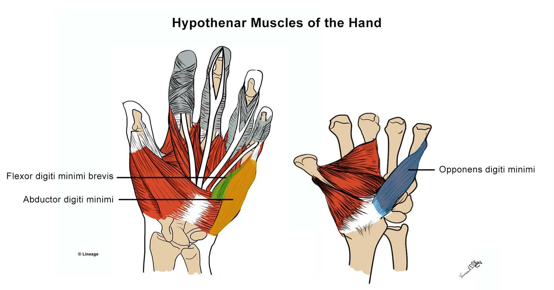 Intrinsic Hand Muscles Msk Medbullets Step 1