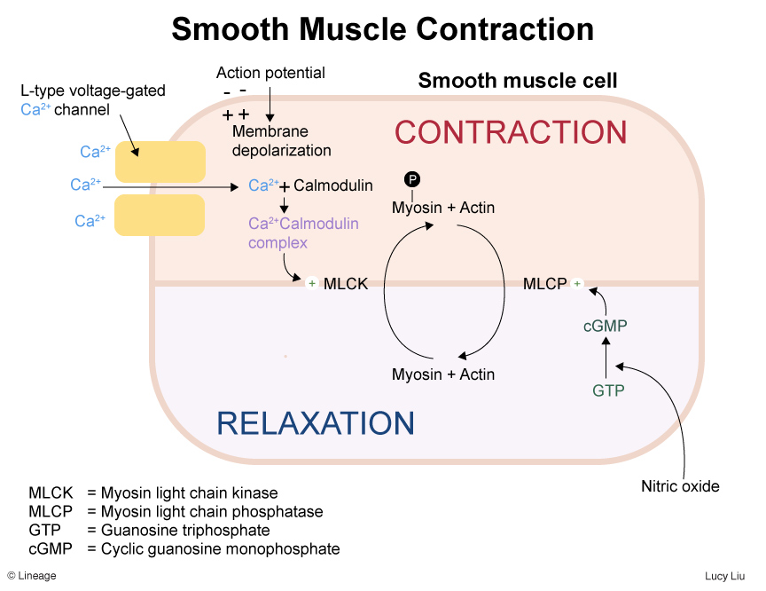 https://upload.medbullets.com/topic/112020/images/032918llstep1smoothmusclecontraction.jpg