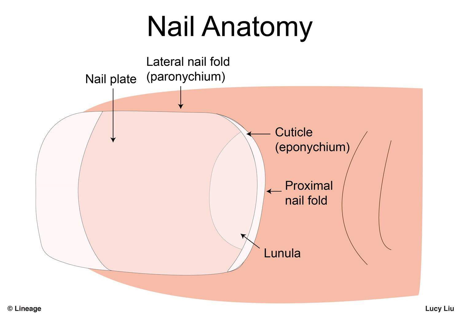Nail disorders dermatology medbullets step 1 nail unit is composed of pooptronica Gallery