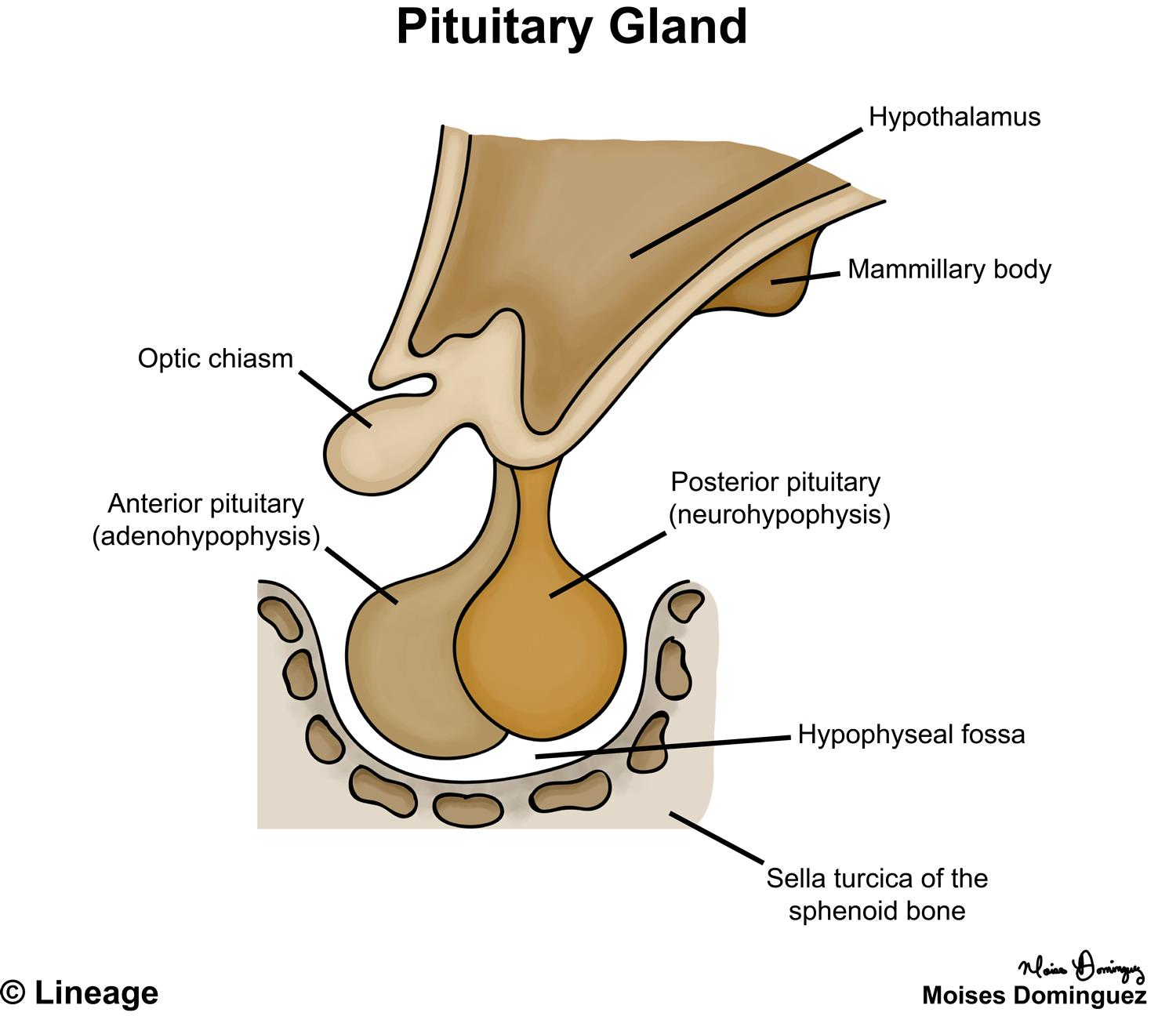 Posterior Pituitary - Neurology - Medbullets Step 1