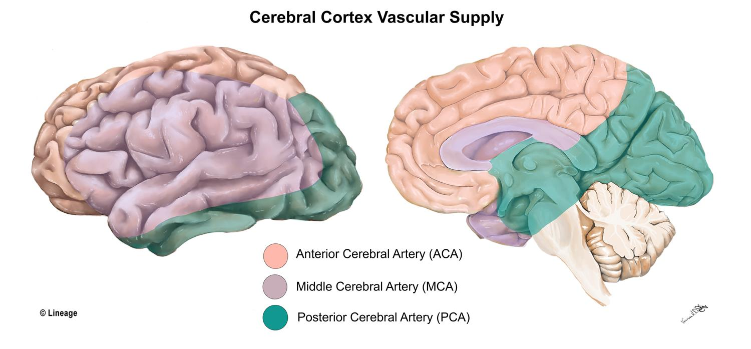 Cerebral Cortex - Neurology - Medbullets Step 1