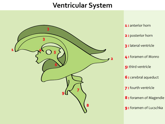 Cerebrospinal Fluid Csf Neurology Medbullets Step 1 Cerebral aqueduct (n.) 1.(mesh)narrow channel in the mesencephalon that connects the third and fourth ventricles. cerebrospinal fluid csf neurology