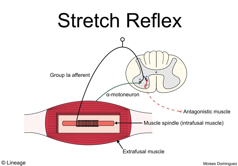 Muscle Spindles / Golgi Tendon Organs - Neurology - Medbullets Step 1