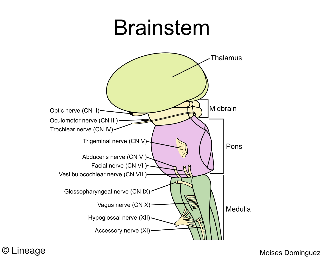 Brainstem - Neurology - Medbullets Step 1