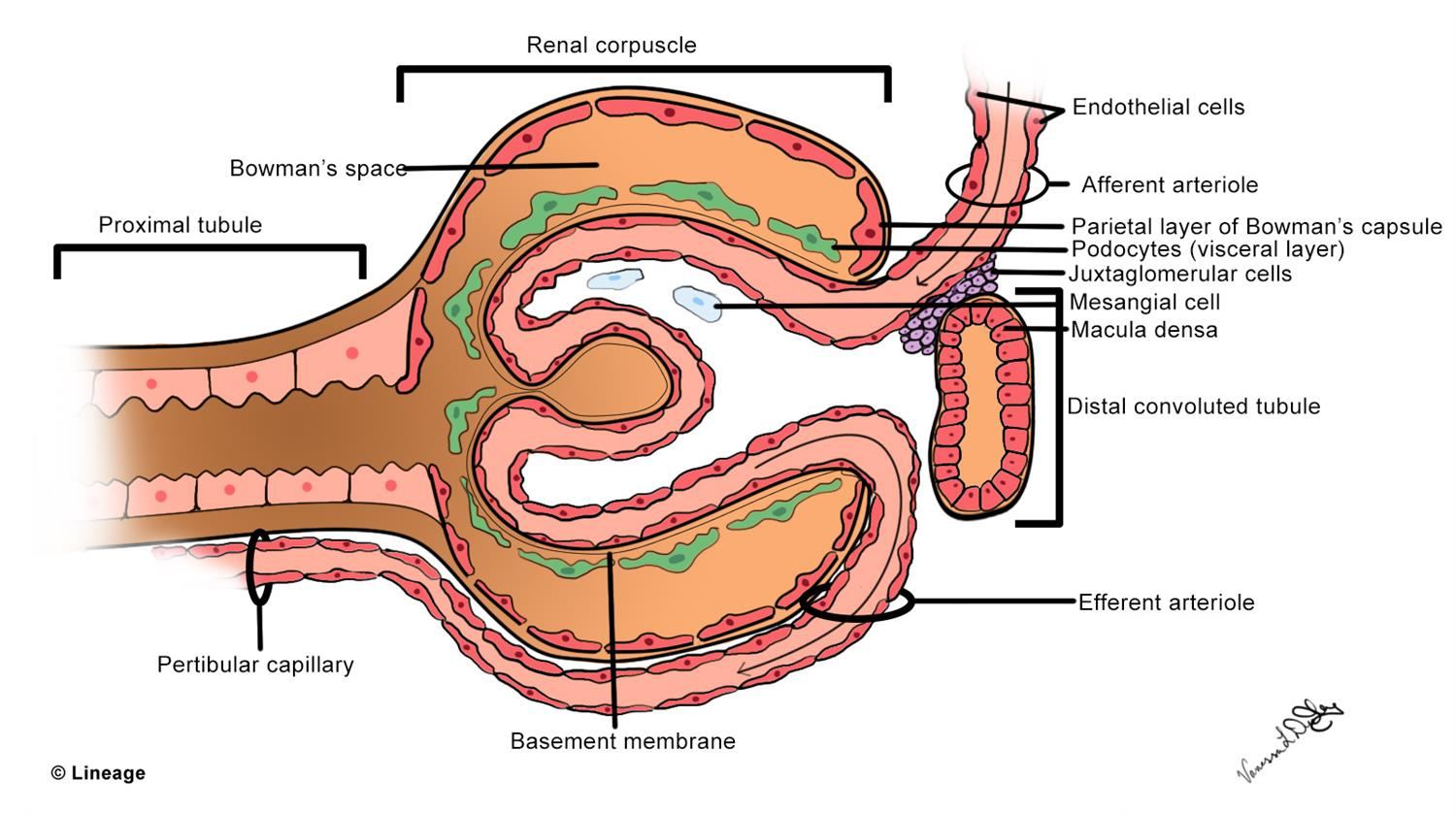 Kidney Anatomy - Renal - Medbullets Step 1