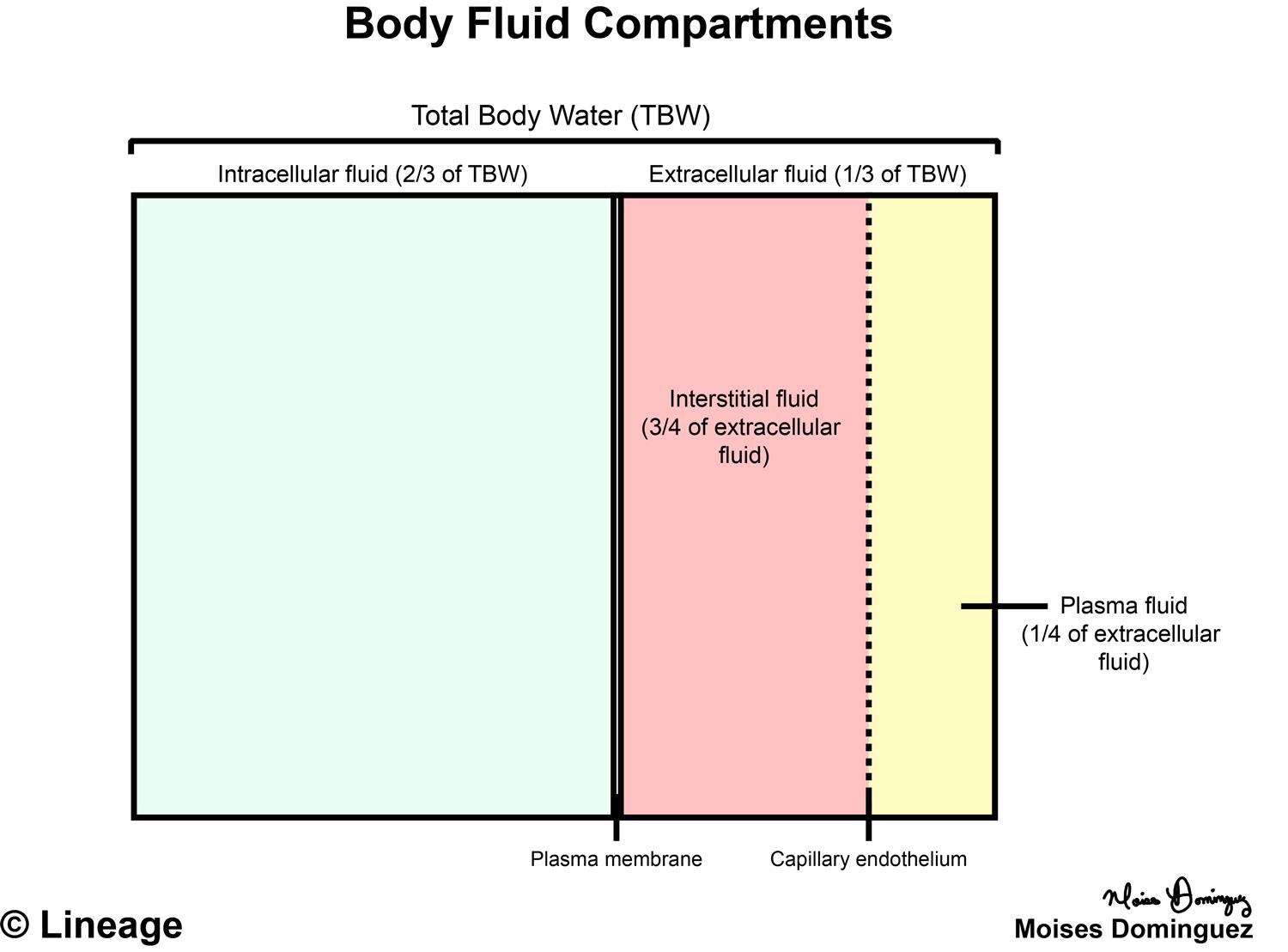 Body Fluid Compartments - Renal