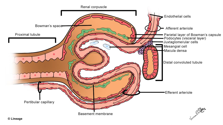 Glomerular Filtration Barrier - Renal - Medbullets Step 1