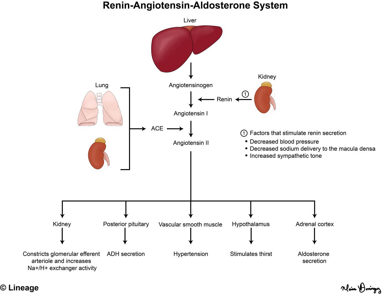 Ace Inhibitors Renal Medbullets Step 1