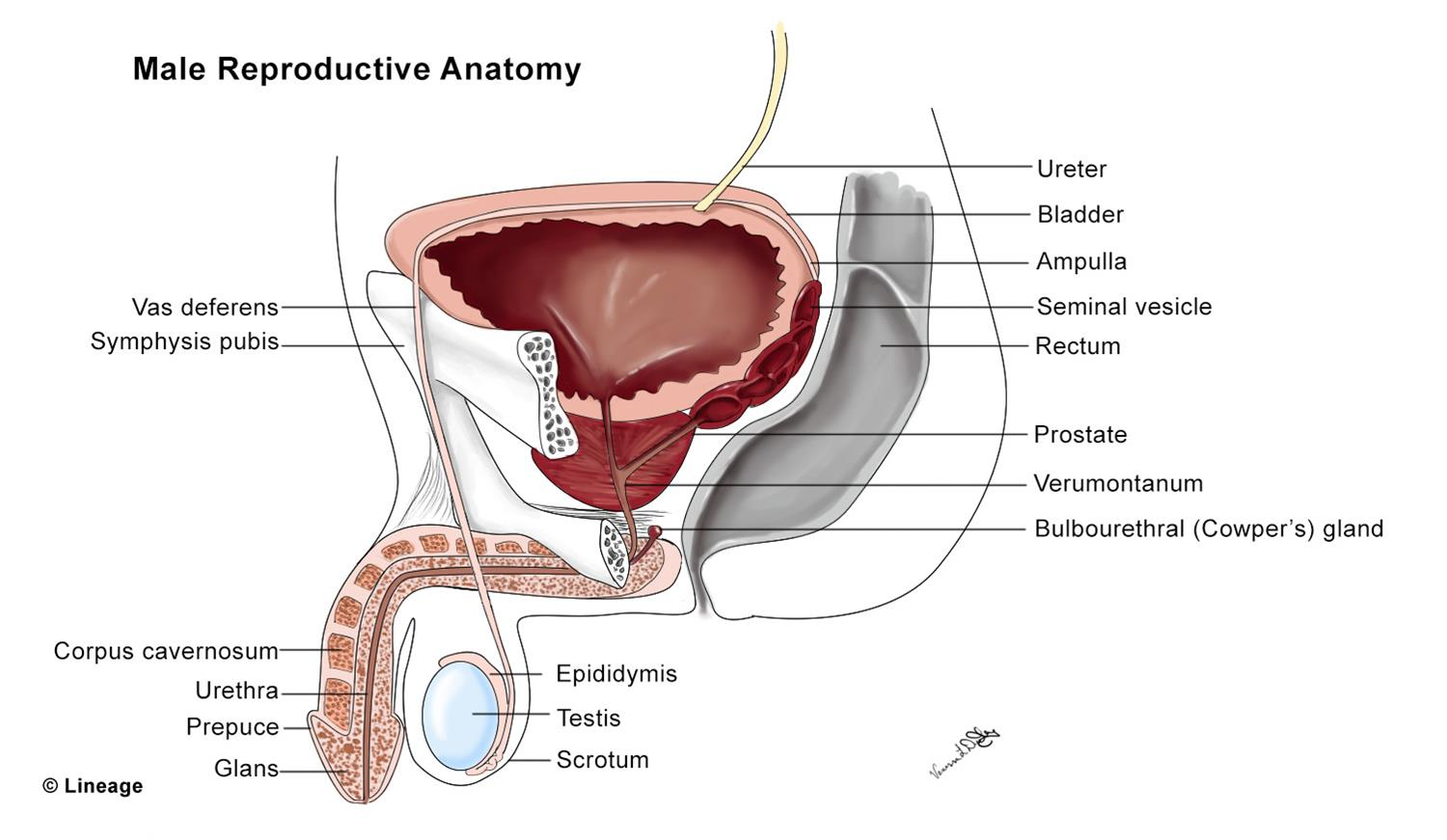 Male Reproductive Anatomy Reproductive Medbullets Step 1