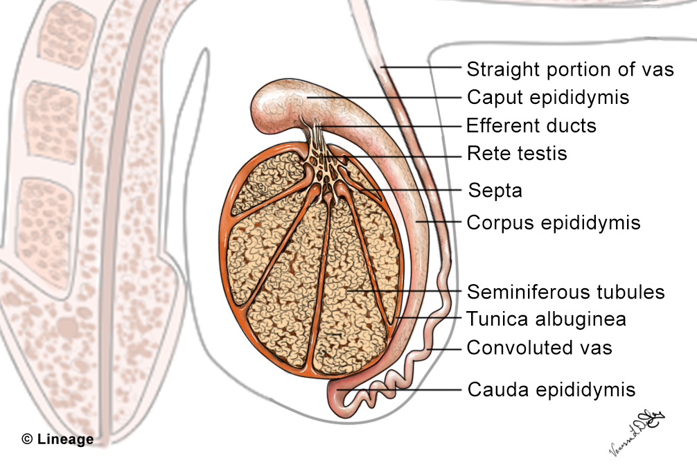 Structure Of Testes Reproductive Medbullets Step 1
