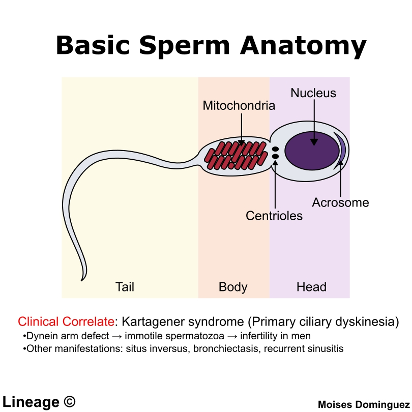 Spermatogenesis Reproductive Medbullets Step 1