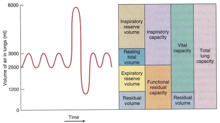 Image result for respiratory volumes and capacities