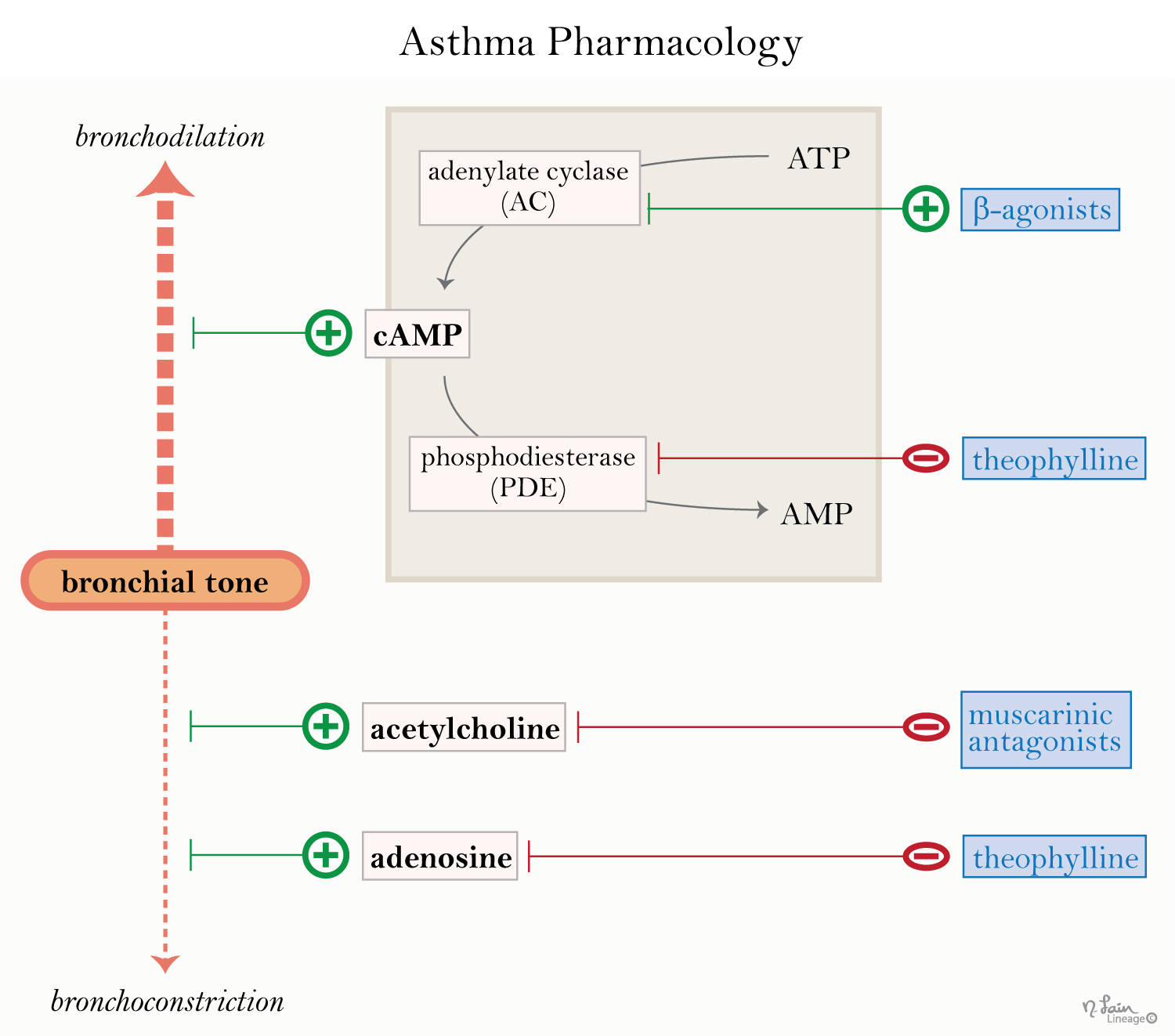 Asthma Drugs - Respiratory - Medbullets Step 1