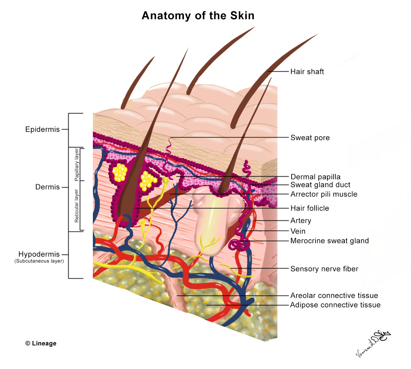 Skin Anatomy and Wound Healing - Dermatology - Medbullets Step 2/3
