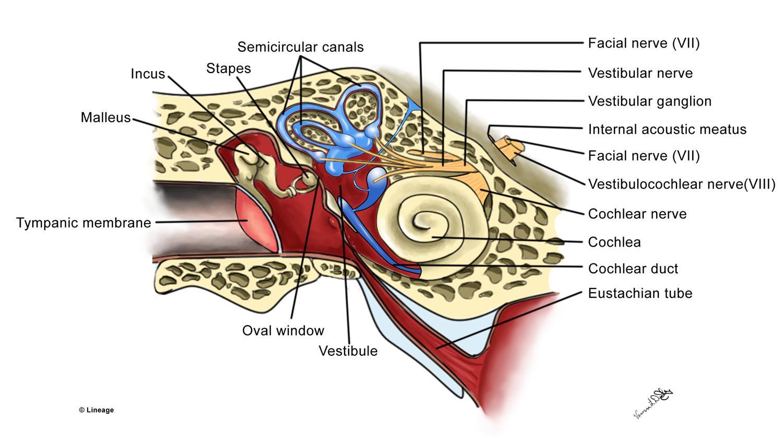 Ear Functional Anatomy - Ear, Nose, Throat - Medbullets Step 2/3