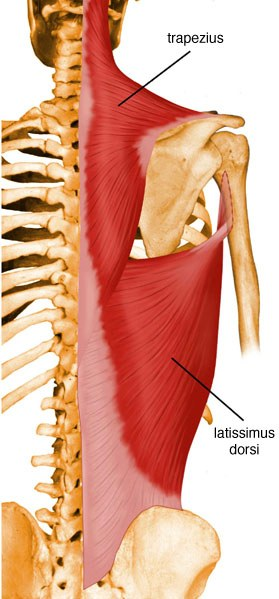 https://upload.medbullets.com/topic/121856/images/latissiumus_dorsi.jpg
