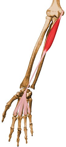 https://upload.medbullets.com/topic/121891/images/palmaris longus.jpg