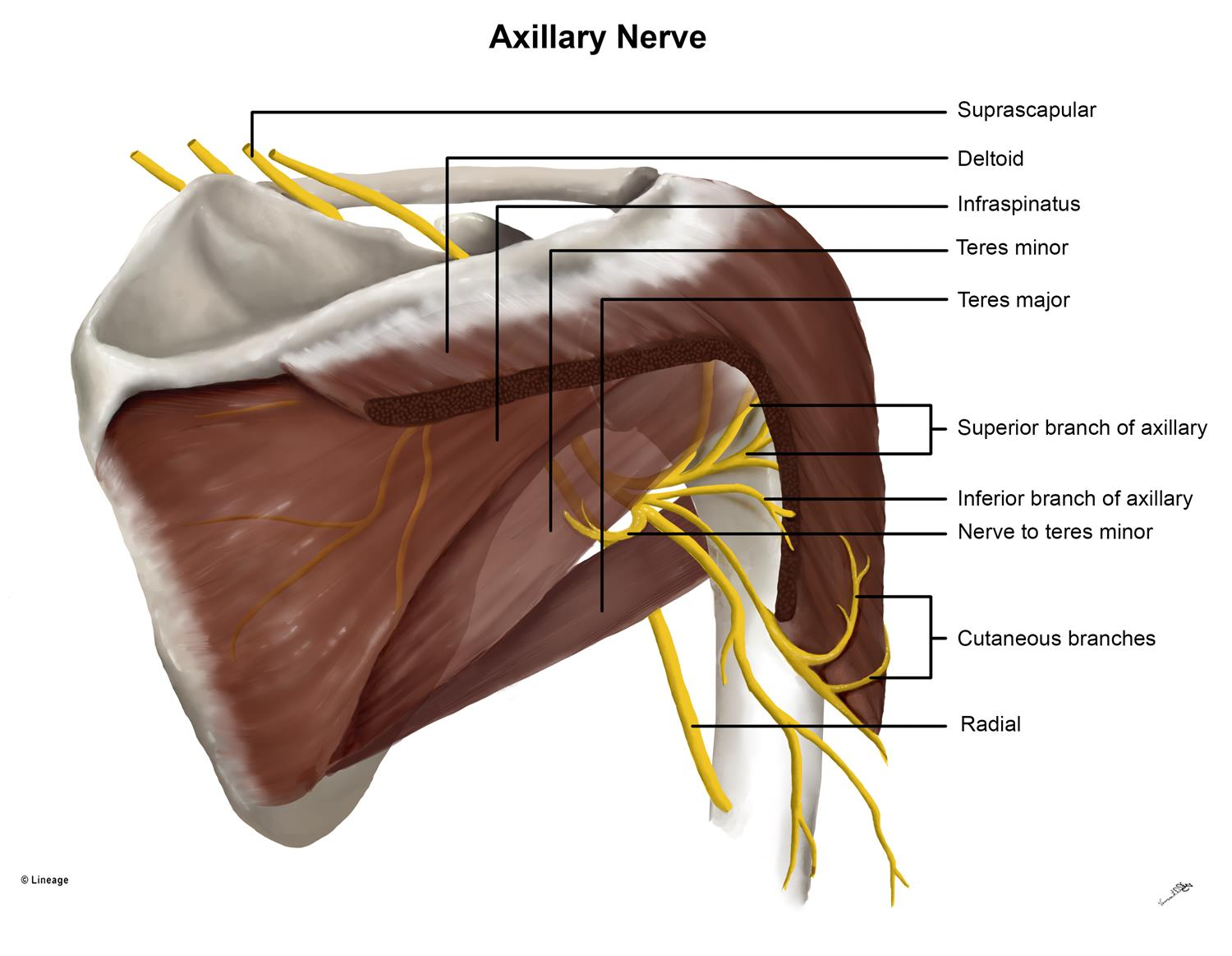 https://upload.medbullets.com/topic/121974/images/axiliary_nerve_with_muscles.jpg